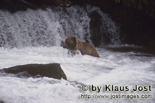 Brown Bear/Ursus arctos horribilis        Brown bear right under the waterfall        It is late aut