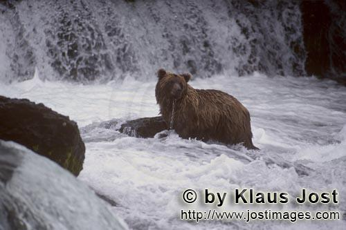 Brown Bear/Ursus arctos horribilis        Brown bear surrounded by flowing water        It's late fa