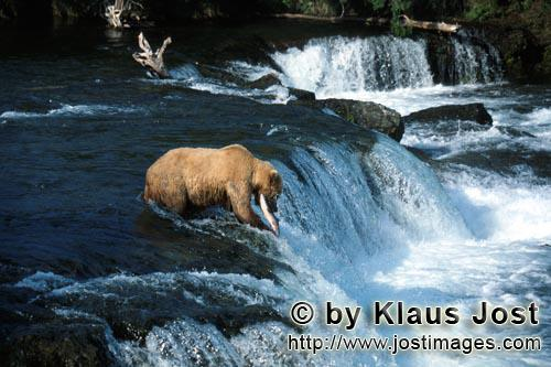 Brown Bear/Ursus arctos horribilis        Brown bear with salmon at the waterfall         The waterf