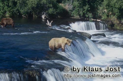 Brown Bear/Ursus arctos horribilis        The brown bear patiently waits for a jumping salmon