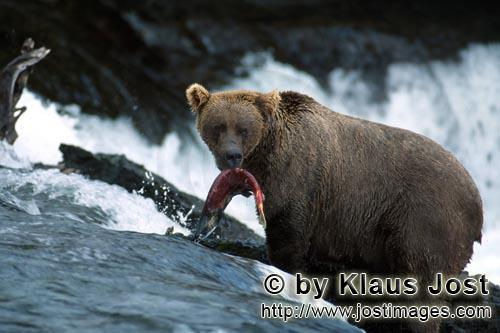 Brown Bear/Ursus arctos horribilis        Brown Bear with salmon prey         The waterfall is the l