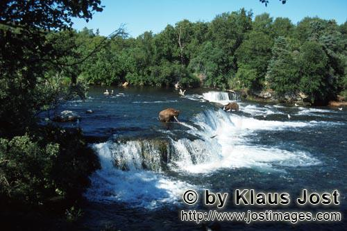 Brown Bears/Ursus arctos horribilis        Brown Bears and salmon at the waterfall        The waterf