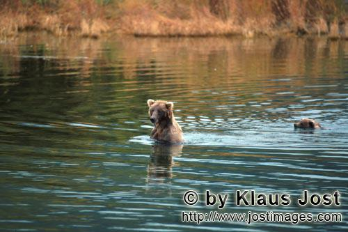 Brown Bears/Ursus arctos horribilis        Sow with her cub is back in shallow water