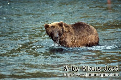 Brown Bear/Ursus arctos horribilis        Brown Bear at Brooks River        It is late autumn and th