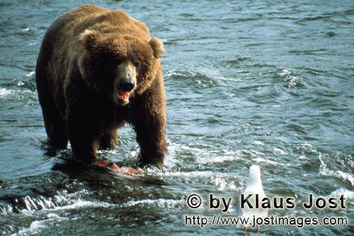 Brown Bear/Ursus arctos horribilis        The brown bear and the gull        It's autumn and there a