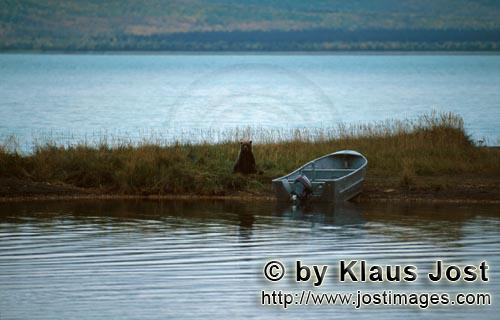 Brown Bear/Ursus arctos horribilis        The bear and the boat
