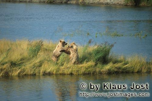 Braunbaeren/Brown Bears/Ursus arctos horribilis        Playing young Brown Bears