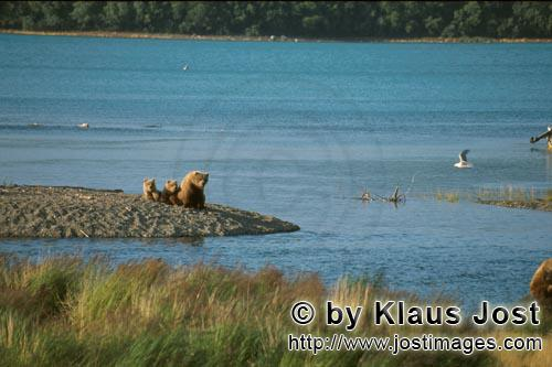 Braunbaeren/Brown Bears/Ursus arctos horribilis        Brown bear familiy on the river bank