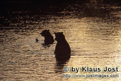 Brown Bear/Ursus arctos horribilis        Brown bears hunt salmon in the evening light        It is