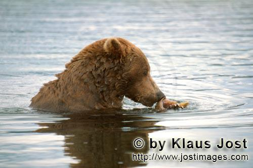Brown Bear/Ursus arctos horribilis        Brown bear with salmon         The brown bear (Ursus ar