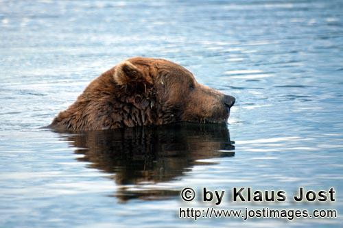 Brown Bear/Ursus arctos horribilis        Brown bear looking for salmon in the Brooks