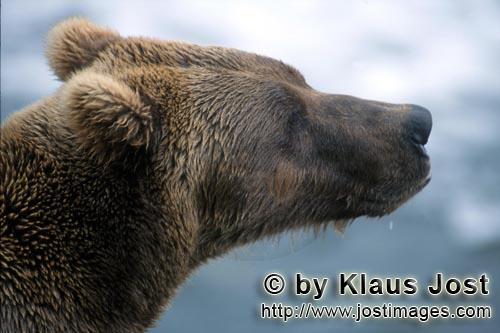 Brown Bear/Ursus arctos horribilis        Brown Bear probed the situation        It's late fall and
