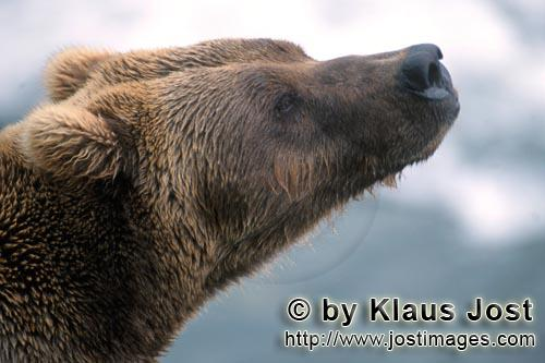 Brown Bear/Ursus arctos horribilis        Brown bear smells         It's late fall and the last salm