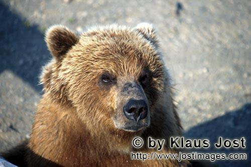 Brown Bear/Ursus arctos horribilis        Serious-looking brown bear        It is late autumn and th