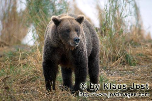Brown Bear/Ursus arctos horribilis        A large brown bear        The large brown bear is s