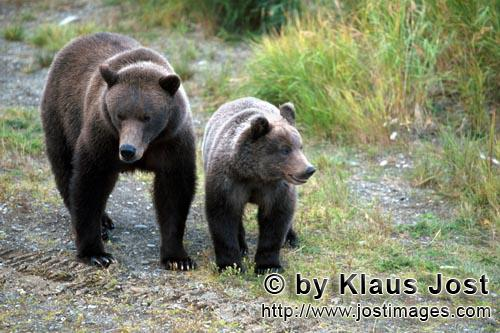 Brown Bear/Ursus arctos horribilis        Sow with young Bear at the river bank         Mother Br