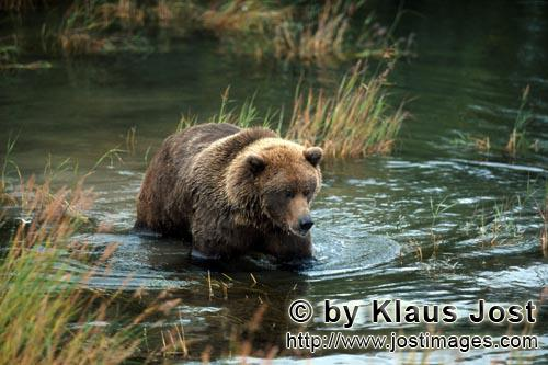 Brown Bear/Ursus arctos horribilis        Young brown bear in shallow water on the river bank