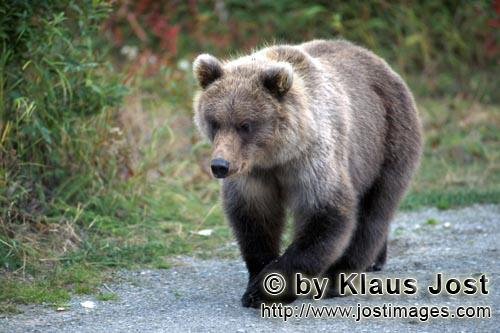 Brown Bear/Ursus arctos horribilis        Young Brown Bear travelling to the river         While