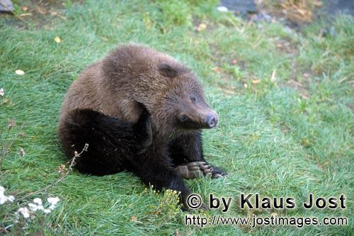 Brown Bear/Ursus arctos horribilis        Waiting young brown bear        In bright sunshine, the <b