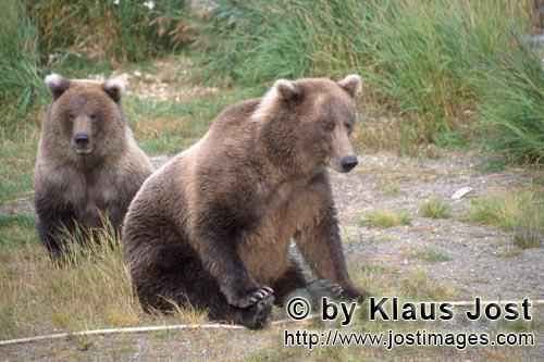 Brown Bear/Ursus arctos horribilis        Two well-fed brown bears        The brown bear and t