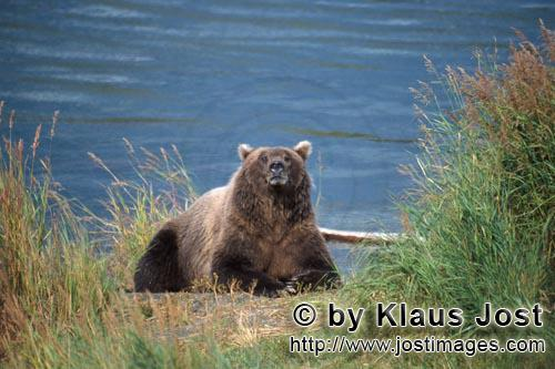 Brown Bear/Ursus arctos horribilis        Astonished brown bear on the river        The well-fed