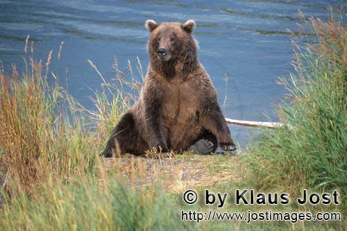 Brown Bear/Ursus arctos horribilis        Surprised brown bear on the river bank        The Brown