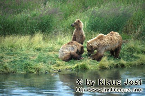 Braunbaeren/Brown Bears/Ursus arctos horribilis        Brown bear family