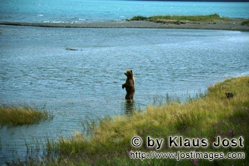 Brown Bears/Ursus arctos horribilis        Erect brown bear in river        During the walk along th