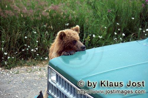 Braunbaer/Brown Bear/Ursus arctos horribilis        Young Brown Bear on the car looks critically