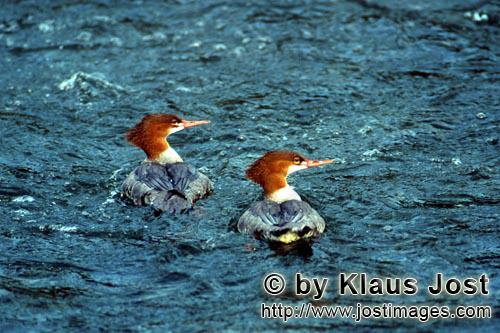 Goosander/Mergus Merganser        Goosander with prey        The ducks large water bird is an