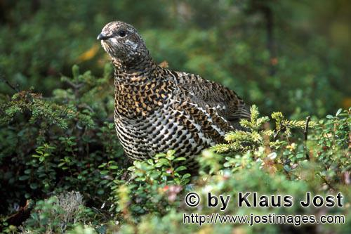 Spruce Grouse/Dendragapus canadensis        at home in the dense coniferous forest        In the den