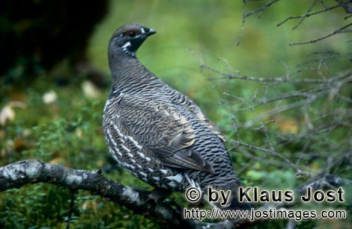 Spruce Grouse/Dendragapus canadensis        Spruce Grouse - frugal and cold-resistant        In the
