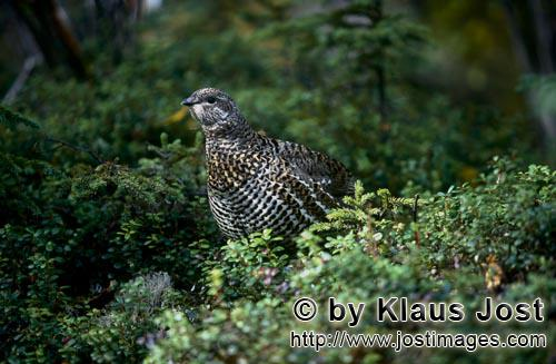 Spruce Grouse/Dendragapus canadensis        Berries - a treat for the Spruce Grouse        In the de