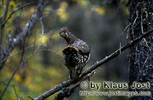 Spruce Grouse/Dendragapus canadensis        Spruce Grouse        In the dense undergrowth on the