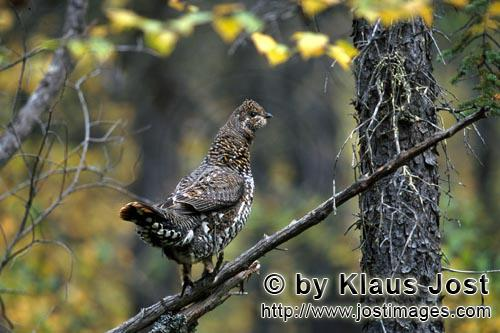 Spruce Grouse/Dendragapus canadensis        Spruce Grouse collects beeries        In the dense under