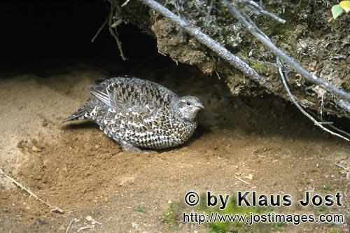Spruce Grouse/Dendragapus canadensis        Spruce Grouse in front of a cave        In the dense und