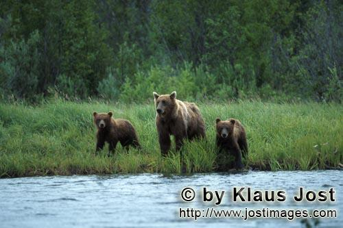 Brown Bears/Ursus arctos horribilis        Sow with her cubs in the Katmai backcountry