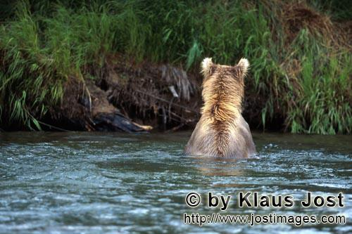 Braunbaer/Brown Bear/Ursus arctos horribilis        Brown Bear fishing for salmon