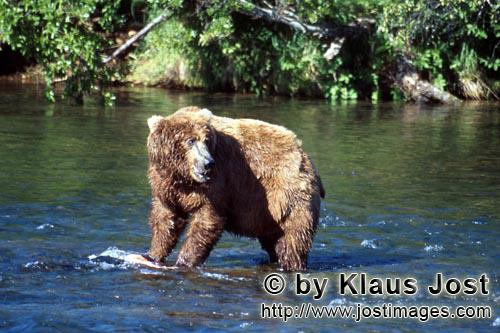 Brown Bear/Ursus arctos horribilis        Brown bear sees close competitors        The brown bear