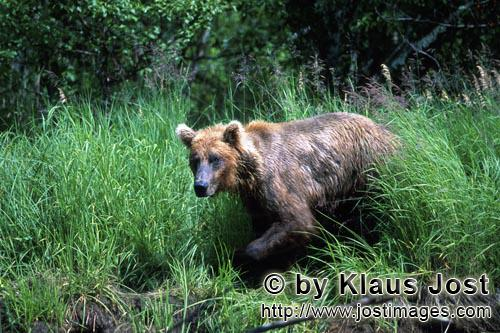 Brown Bear/Ursus arctos horribilis        Brown bear comes out of the high grass        A brown b