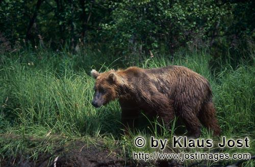 Brown Bear/Ursus arctos horribilis        Brown bear in the high grass on the river bank