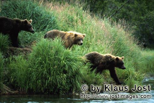 Braunbear/Brown Bear/Ursus arctos horribilis        Brown bears travelling along the Riverbank