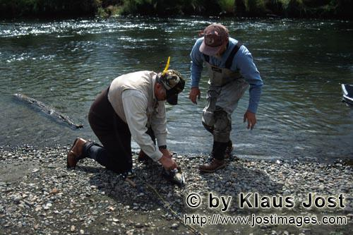 Rainbow trout/Oncorhynchus mykiss        Fishermen in action