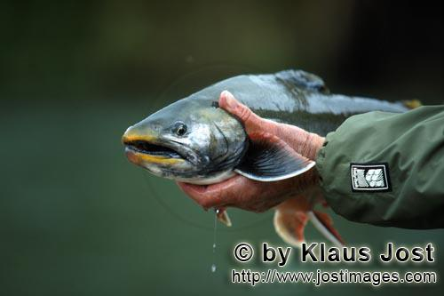 Arctic Char/Salvelinus alpinus         Fisherman with a Arctic Char