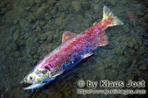 Sockeye salmon/Blueback salmon/Oncorhynchus nerka        The end of the salmon run         The sa