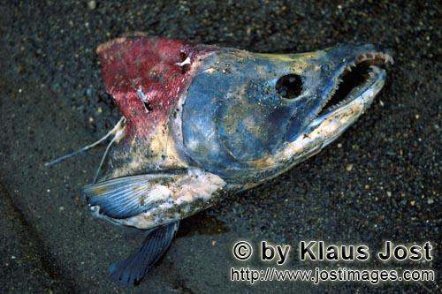 Sockeye salmon/Blueback salmon/Oncorhynchus nerka/        The end of a Sockeye Salmon         The <b