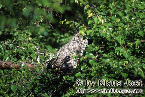 Great Horned Owl/Bubo virginianus        Great Horned Owl at Lake Coville        The Great Horned Ow
