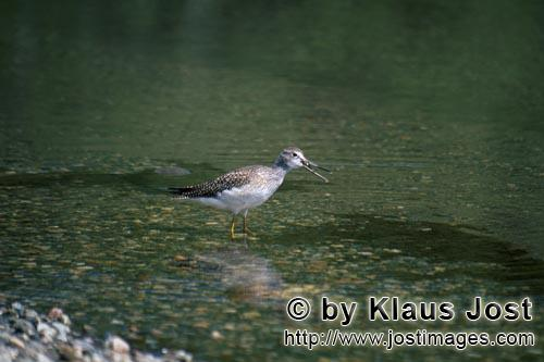 Greater Yellowlegs/Tringa melanoleuca        Greater Yellowlegs in shallow water        The birds