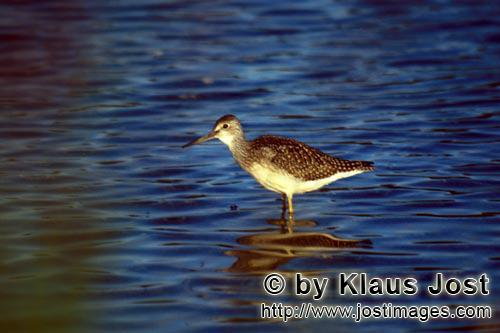Greater Yellowlegs/Tringa melanoleuca        Greater Yellowlegs searching for food        The bir
