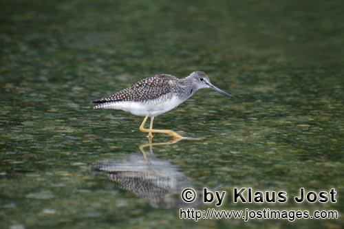 Greater Yellowlegs/Tringa melanoleuca        Greater Yellowlegs search for food        The birds<